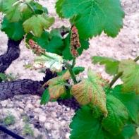 La viña en primavera