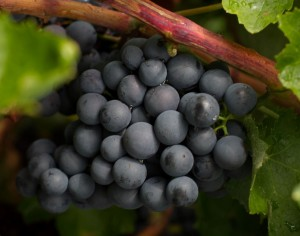 Racimo de uva Bobal
